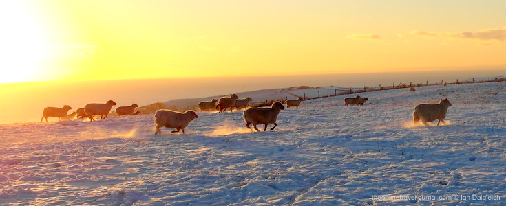 Sheep on snow covered hills, Dorset, UK