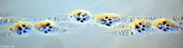 Snow Leopard paw marks