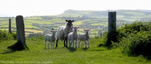 Sheep on the hills near Bridport, Dorset