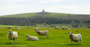 Sheep, an intregal part of the South Downs landscape and Belle Toute Lighthouse