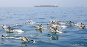 Common Dolphins large school