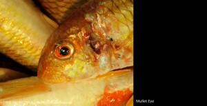 Mullet Eye Faro Market