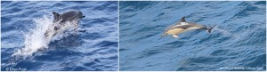 Striped (left) & Common dolphins