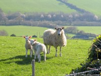 Sheep & Lambs_Dorset