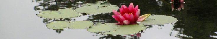 Day 9 Descent to Soccia Lavu a Crena Waterlilies